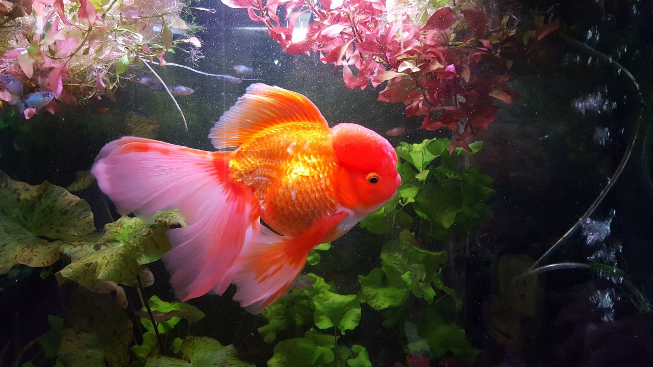 Tahukah Kamu Ternyata Ikan Mas Koki Bisa Hidup Berbulan Bulan Tanpa Oksigen Manandshark